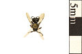View Aphid Wasp digital asset number 0