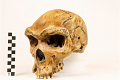 View Kabwe 1, Fossil Hominid digital asset number 6