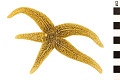 View Common Sea Star digital asset number 0
