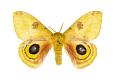 View Io Moth digital asset number 0