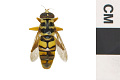 View Hoverfly, Yellow Jacket Hover Fly digital asset number 2