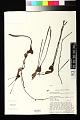 View Pararistolochia promissa (Mast.) Keay digital asset number 0