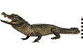 View Marsh Crocodile, Mugger Crocodile digital asset number 1