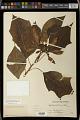 View Euphorbia pulcherrima Willd. ex Klotzsch digital asset number 0