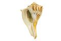 View Lightning Whelk, Lightening Whelk, Fossil shell digital asset number 5