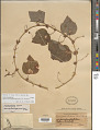 View Passiflora guatemalensis S. Watson digital asset number 1