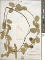 View Passiflora cupraea digital asset number 1