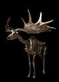 View Megaloceros giganteus (Blumenbach) digital asset number 0