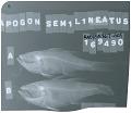 View Ostorhinchus semilineatus digital asset number 0