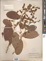 View Tetracera sessiliflora Triana & Planch. digital asset number 1