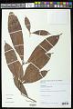 View Lacunaria crenata (Tul.) A.C. Sm. digital asset number 0