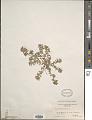View Euphorbia maculata L. digital asset number 1