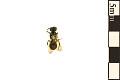 View Sweat Bee, Halictid Bee digital asset number 1