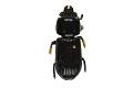 View Eastern Bess Beetle, Horned Passalus, Eastern Bess Beetle, Horned Passalus digital asset number 0