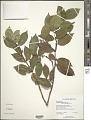 View Cassipourea guianensis Aubl. digital asset number 2