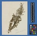 View Botanical Specimens From Quileute Indians digital asset number 26