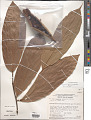 View Theobroma glaucum H. Karst. digital asset number 1