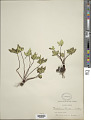 View Cheilanthes hookeri Domin digital asset number 1