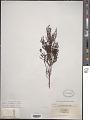 View Thesium ericaefolium A. DC. digital asset number 1
