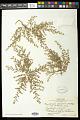 View Euphorbia laredana Millsp. digital asset number 0