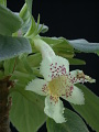 View Alsobia punctata (Lindl.) Hanst. digital asset number 5