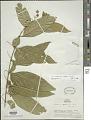 View Solanum warmingii Hieron. digital asset number 1
