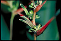 View Heliconia brachyantha L. Andersson digital asset number 1