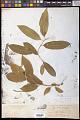 View Pyrularia pubera Michx. digital asset number 0