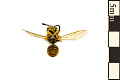 View Common Yellowjacket, Common Wasp digital asset number 1