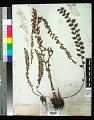 View Astrolepis sinuata (Lag. ex Sw.) D.M. Benham & Windham digital asset number 0