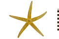 View Lined Sea Star digital asset number 1