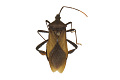View Squash Bug, Leaf-footed Bug digital asset number 2