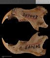 View Sciurus niger cinereus digital asset number 4