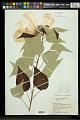 View Hibiscus moscheutos subsp. lasiocarpos (Cav.) O.J. Blanch. digital asset number 0