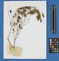 View Botanical Specimens From Quileute Indians digital asset number 36