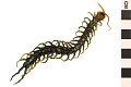 View Giant Redheaded Centipede digital asset number 1