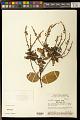 View Securidaca longifolia Poepp. & Endl. digital asset number 0