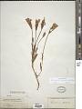 View Gentianella detonsa subsp. elegans (A. Gray) J.M. Gillett digital asset number 1