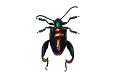 View Frog-legged Leaf Beetle digital asset number 2