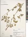 View Hibiscus micranthus L. f. digital asset number 1