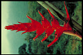 View Heliconia bella digital asset number 0