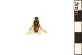 View Sand Pine Sawfly, Conifer Sawfly digital asset number 0