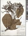 View Anacardium giganteum W. Hancock ex Engl. digital asset number 1
