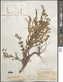 View Euphorbia mesembryanthemifolia Jacq. digital asset number 1