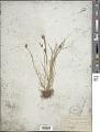 View Carex athrostachya var. minor ined. ? digital asset number 1
