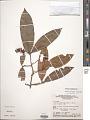 View Elvasia calophyllea DC. digital asset number 1