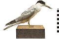 View Common Tern digital asset number 8