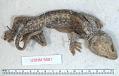 View Gekko gecko digital asset number 0