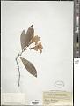 View Rhododendron javanicum Benn. digital asset number 1