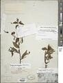 View Ludwigia quadrangularis (Micheli) H. Hara digital asset number 1